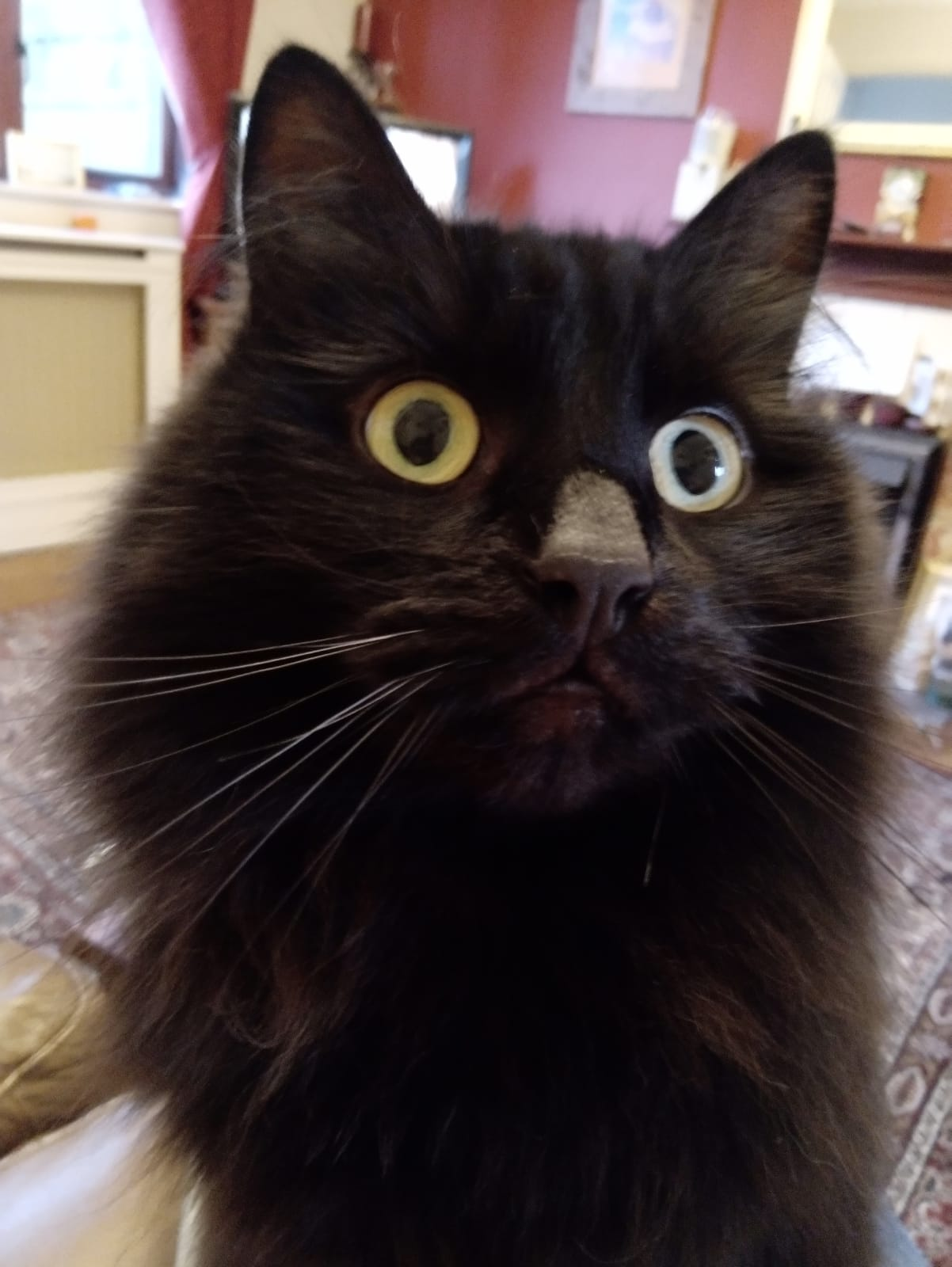 a fluffy black cat looks beyond the camera with a wide eyed look