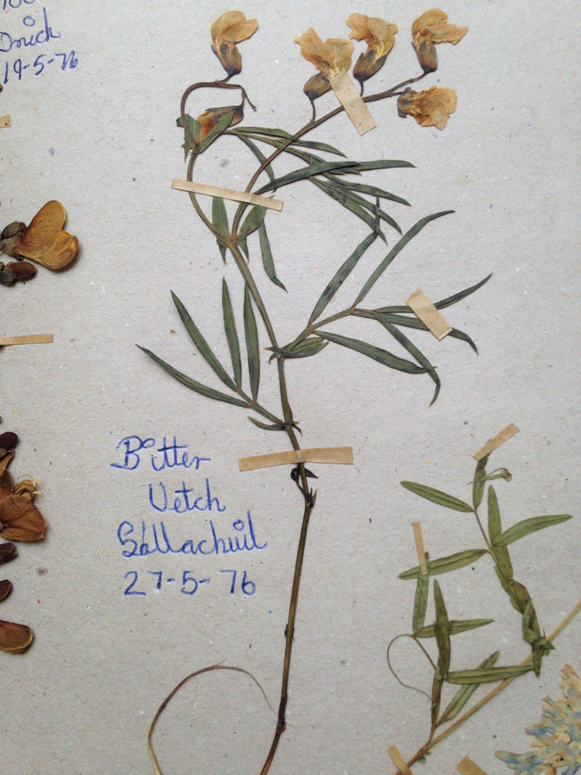 Pressed plant specimen, 'Bitter Vetch'