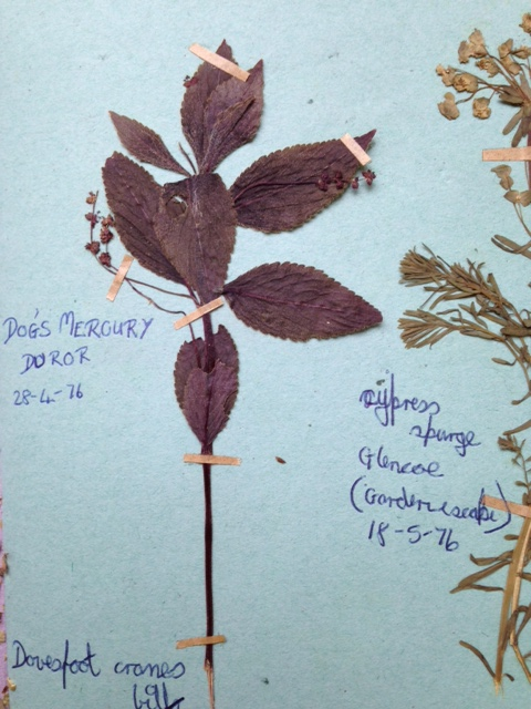Pressed plant specimen, 'Dog's Mercury', This is a burgundy in colour with eight or nine leaves terminating at the top of a long stem