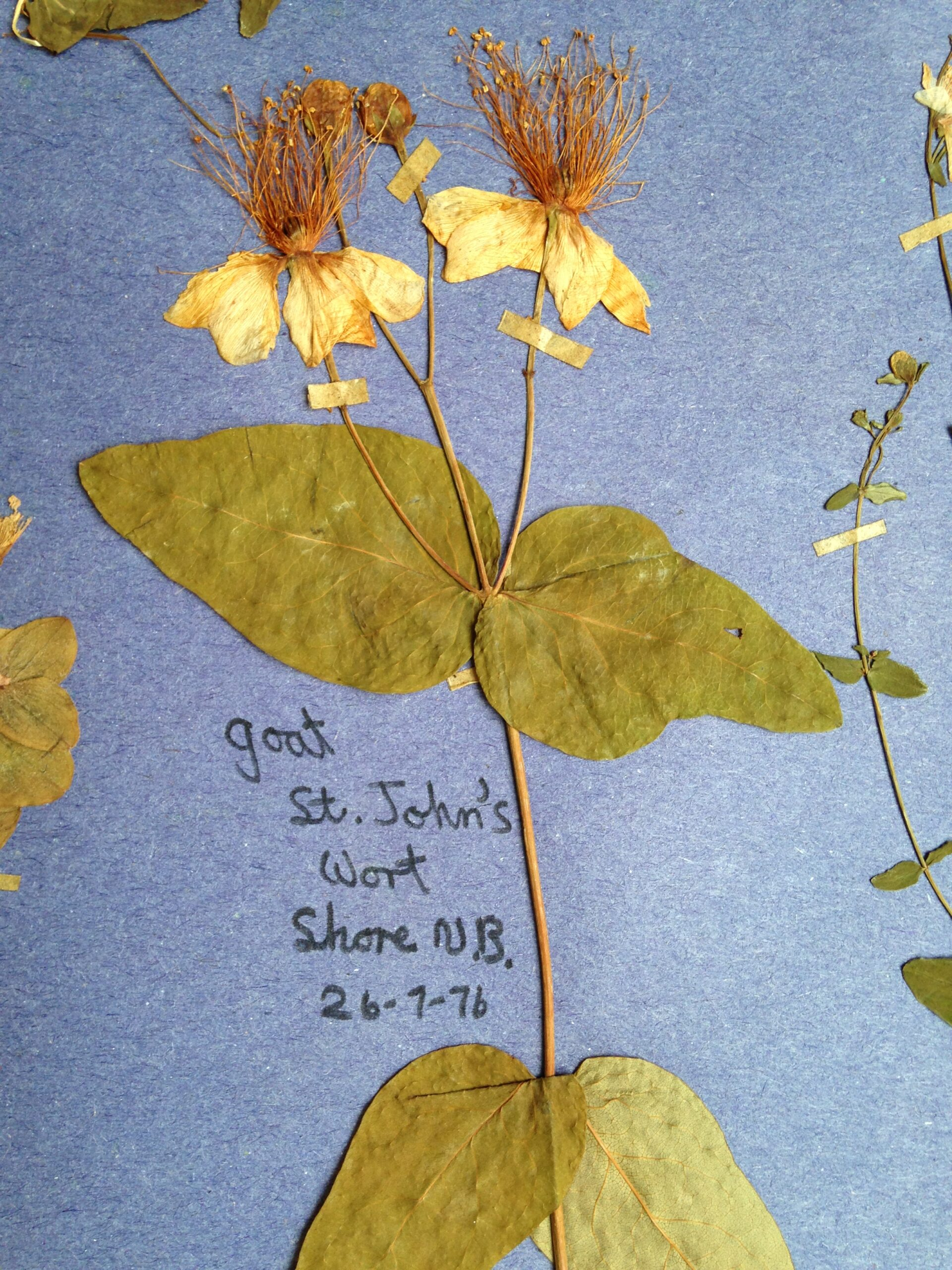 Pressed plant specimen, 'St John's Wort' (also known as Goat Weed), A stem with two fat green leaves at the bottom. two further up and two yellow flower heards
