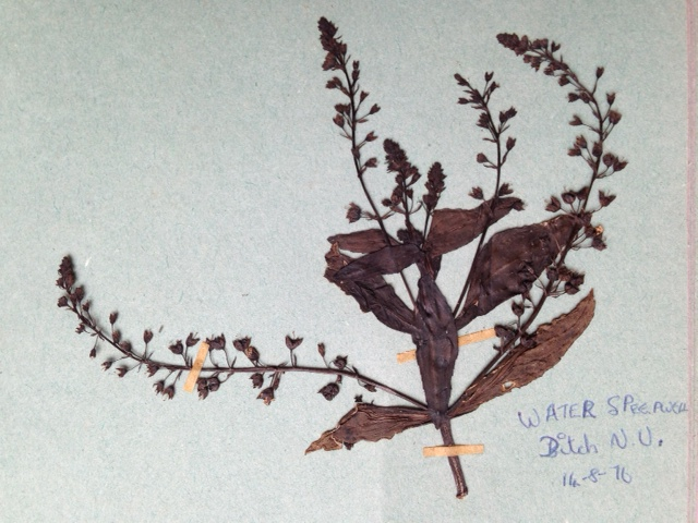 Pressed plant specimen, 'Water Speedwell', pinkish broiwn stem with seeds and leaves