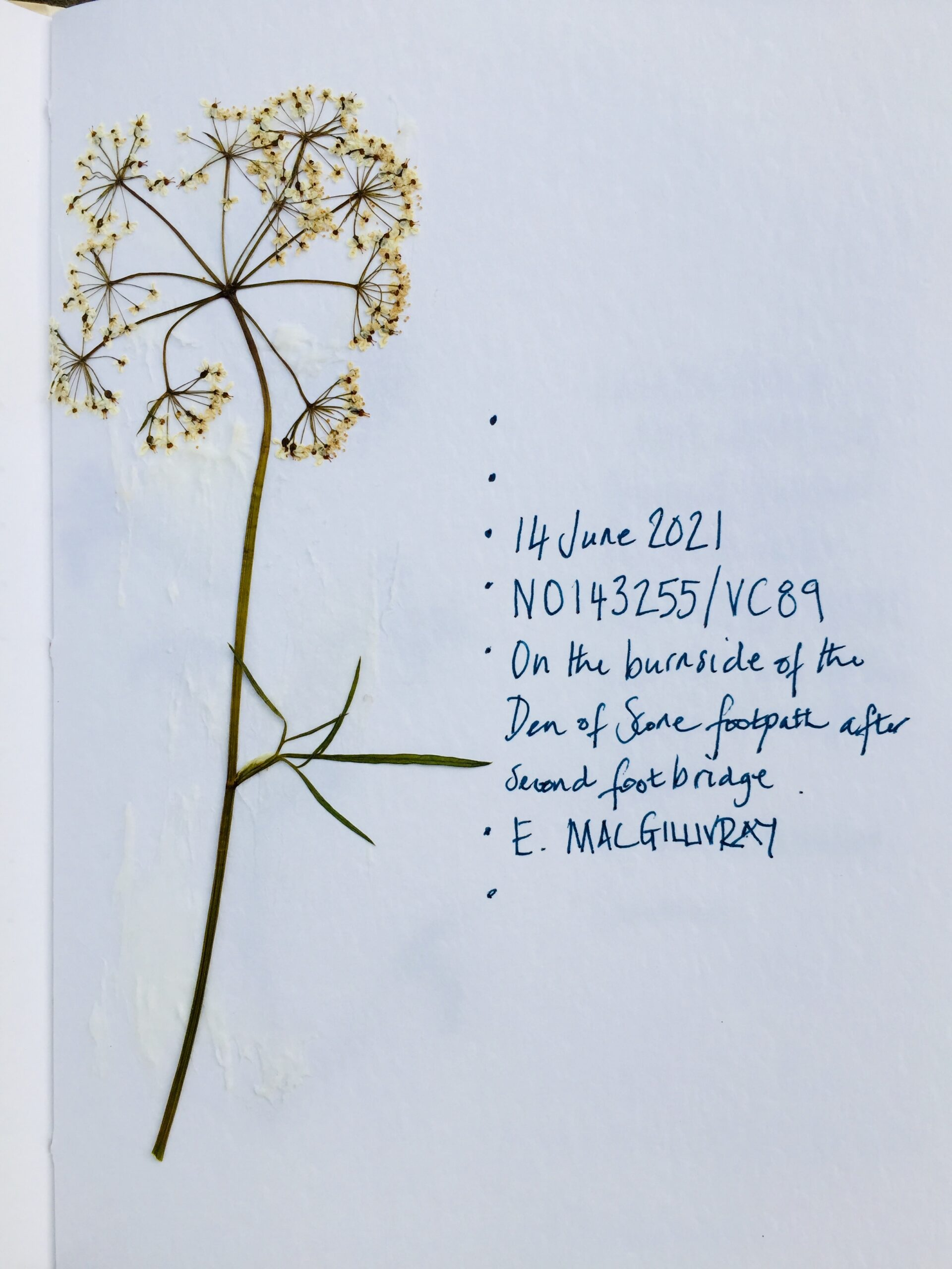 Pressed plant specimen, 'Unidentified', collected by Elaine MacGillivray at the Den of Scone, June 2021.