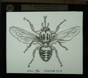 Glass slide, which probably once belonged to James Cossar Ewart, showing the tsetse fly (Coll-1434/3139)
